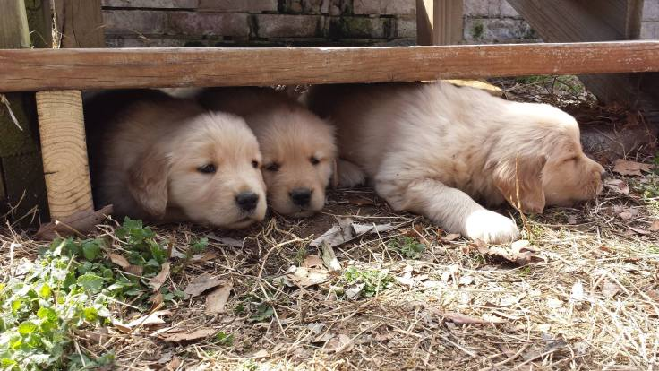 Seasons Gold puppies catching some shade. Our Oshie is one of the three.