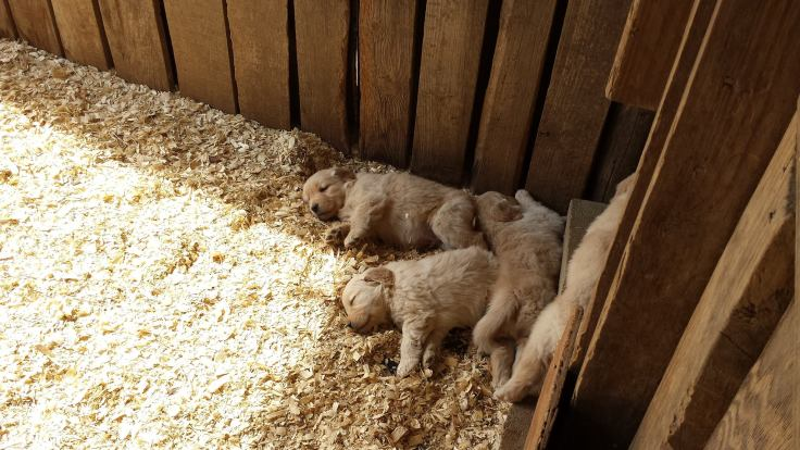 Seasons Gold puppies needed a nap.