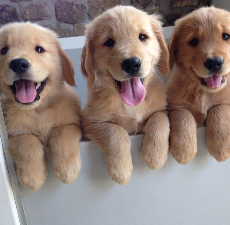 Golden-Retriever-puppies-photo