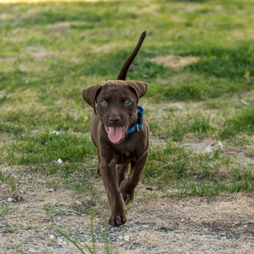chocolate_lab_puppy_1-5