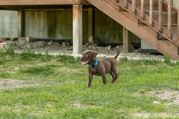 chocolate_lab_puppy_1-6