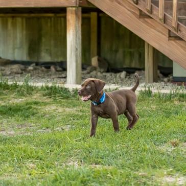 chocolate_lab_puppy_1-6