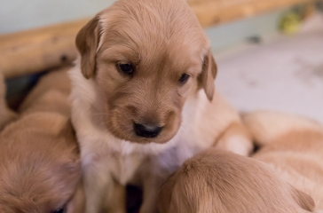 puppies_small-4