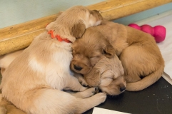 puppies_small2-7