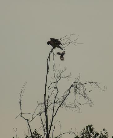 red_shoulder_hawk_mocking_bird