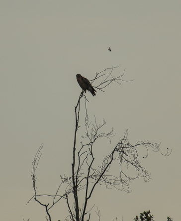 red_shoulder_hawk_mocking_bird_1-2
