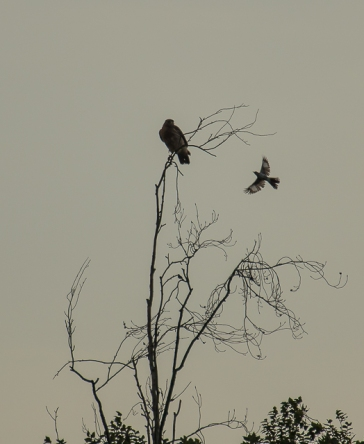 red_shoulder_hawk_mocking_bird_1-3