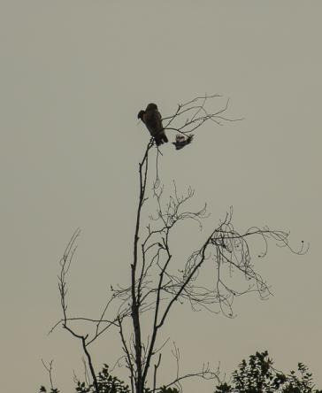 red_shoulder_hawk_mocking_bird_1-4