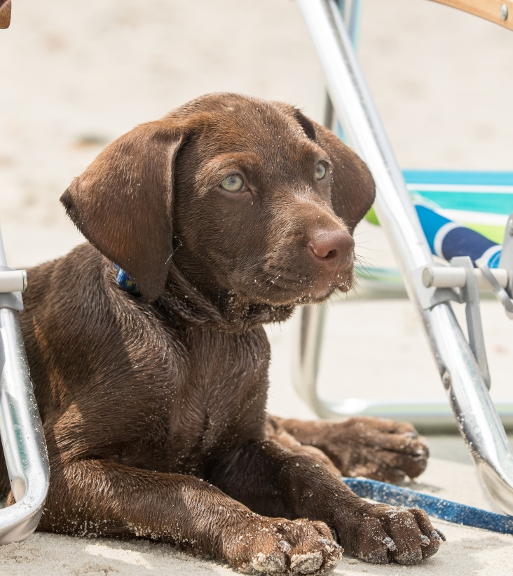 Hershey wasn't fond of the water so he was chilling by the chairs.