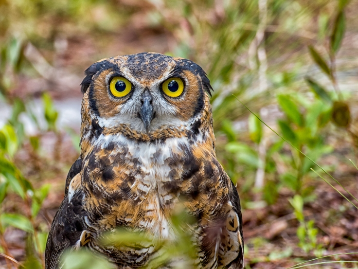 Archie_great_horned_owl_2.jpg