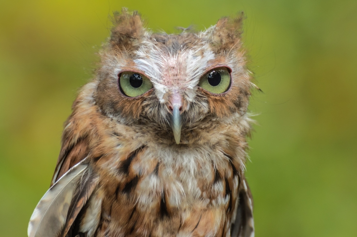 chirpa eastern screech owl.jpg