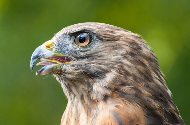 Nev_redshouldered_hawk.jpg