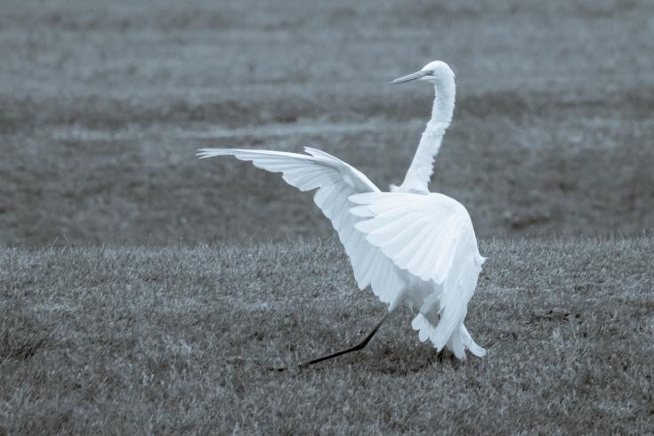 egret landing bw.jpg