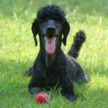 #2 Standard Poodle
