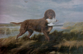 Tweed_Water_Spaniel