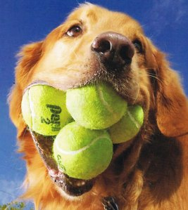 Dog-with-tennis-balls-in-its-mouth